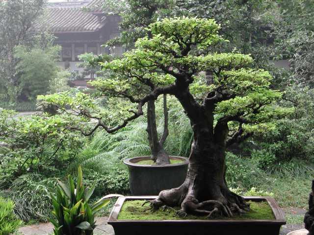 20090908-bonsai