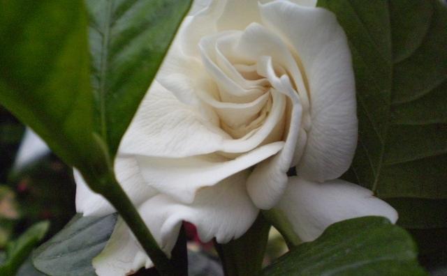 gardenia jasminoides (own)