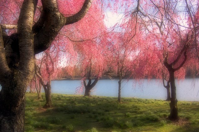 cherry_blossom_trees_by_bass4819-d3bacne