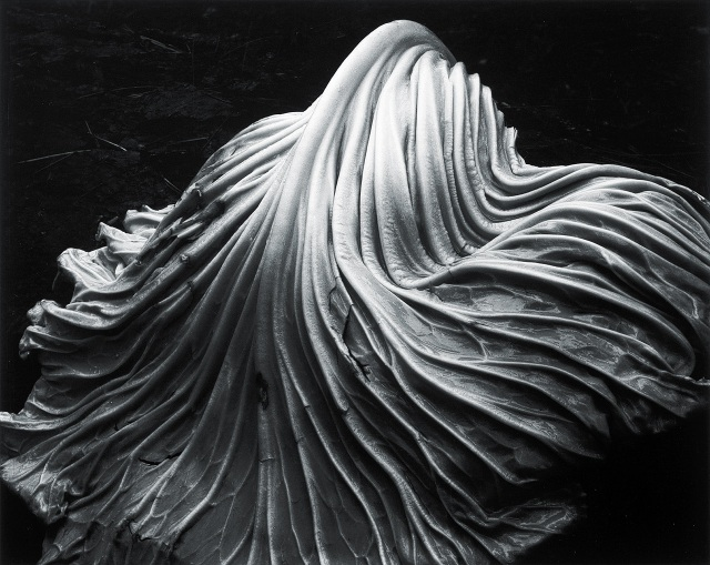 Cabbage Leaf, 1931