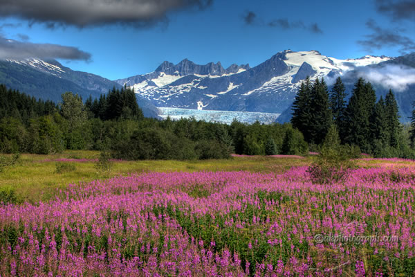 mendenhall-glacier-and-fireweed-by-akphotograph.com
