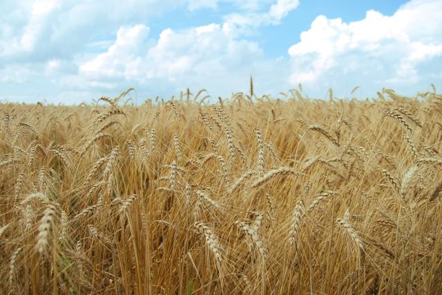 fields-of-grain-1