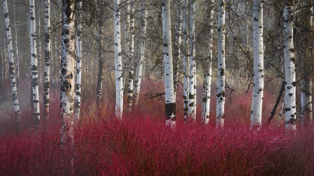 Image result for birch trees in winter garden