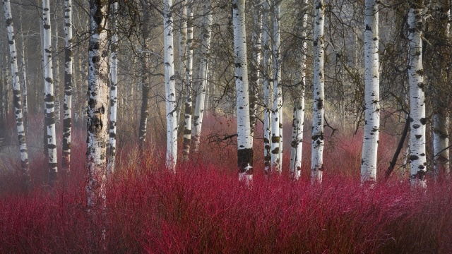 red-twig-dogwood-and-aspen-trees-klamath-basin-oregon1