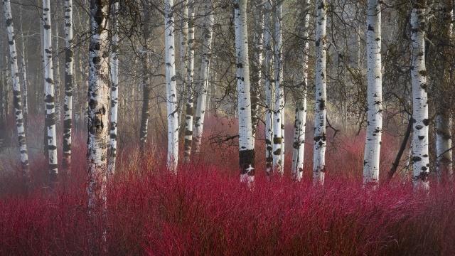 red-twig-dogwood-and-aspen-trees-klamath-basin-oregon1