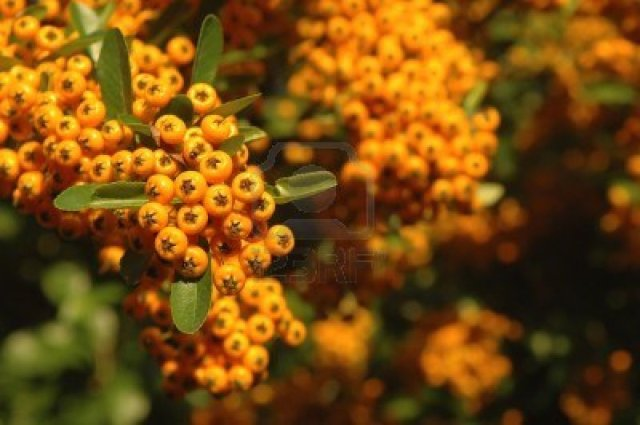 2135359-orange-winter-berries-on-foliage