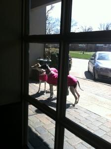pink greyhounds