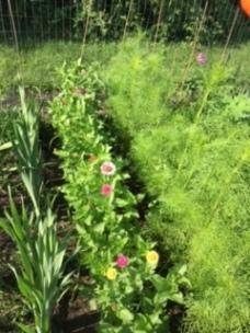 zinnias and cosmos